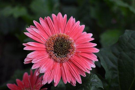 Daisy, Flower, Plant, Pink Flower, Petals, Bloom