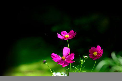 Flowers, Common Cosmos, Bloom, Blossom, Cosmos