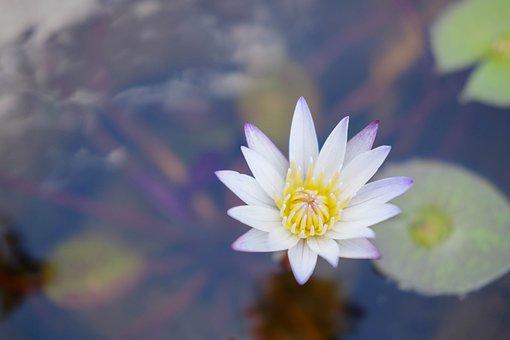 Lotus Flower, Water Lily, Bloom, Aquatic Plants