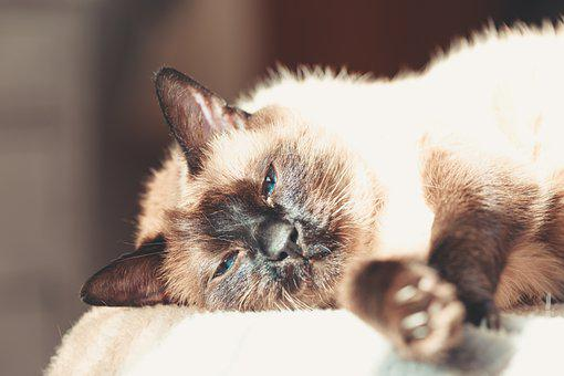 Cat, Sleepy, Rest, Siamese, Siamese Cat, Feline, Kitty