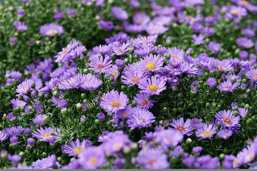 Chrysanthemums, Garden, Flowers, Purple Flowers
