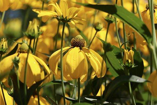 Rudbeckia, Coneflower, Flowers, Plant, Yellow Flowers