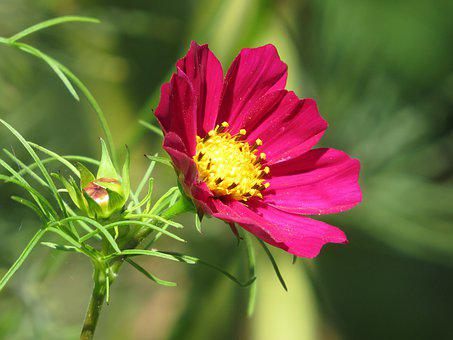 Flower, Cosmos, Cosmea, Petals, Bud, Leaves, Foliage