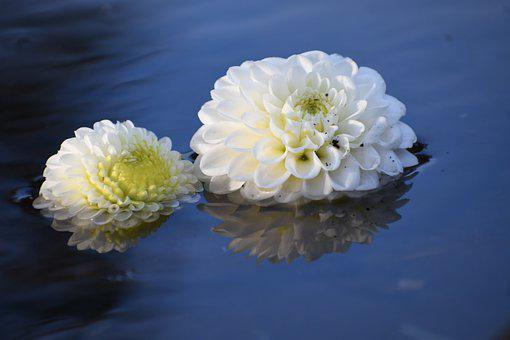 Flowers, Dahlia, Water, Flora, Floral, Petals, Botany