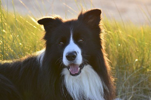 Border Collie, Dog, Pet, Animal, Domestic Dog