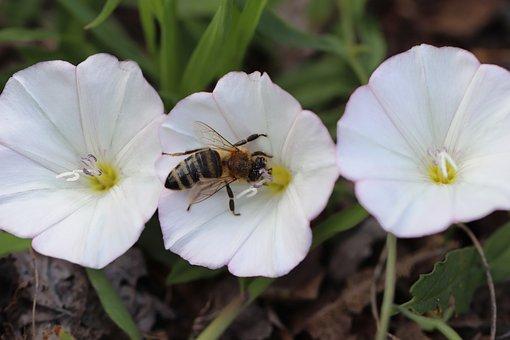 Bee, Insect, Flowers, Bindweeds, Field Bindweeds