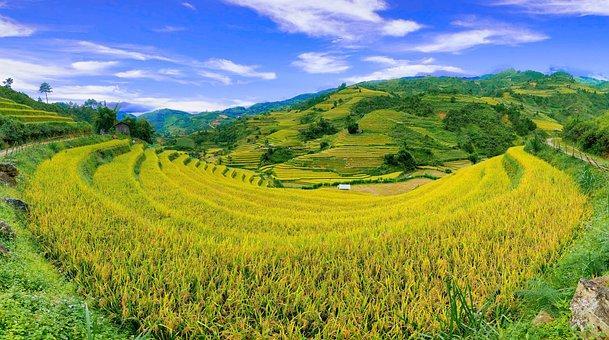 Panorama, Rice Fields, Paddies, Plantation, Fields