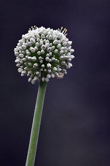 Allium Mount Everest, Flower, Buds, Allium, Bloom