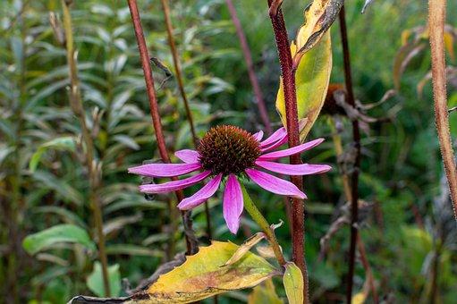 Coneflower, Pollen, Flower, Pink Petals