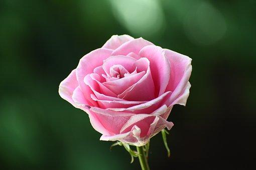 Rose, Flower, Plant, Petals, Pink Rose, Pink Flower