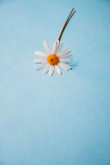 Daisy, Flower, Single, Plant, White Daisy, White Flower