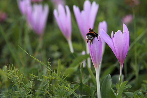 Autumn Crocus, Flowers, Bumblebee, Bee, Insect, Grass