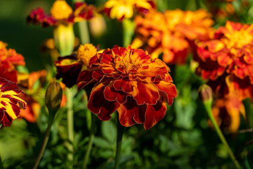 Flowers, Petals, Barhotki, Colorful, Nature, Garden