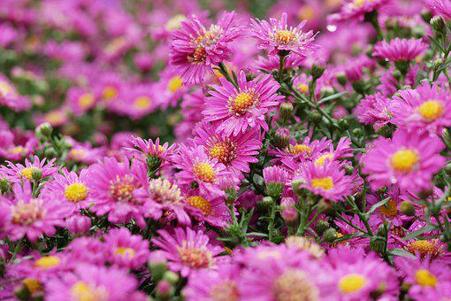 Chrysanthemums, Garden, Flowers, Pink Flowers