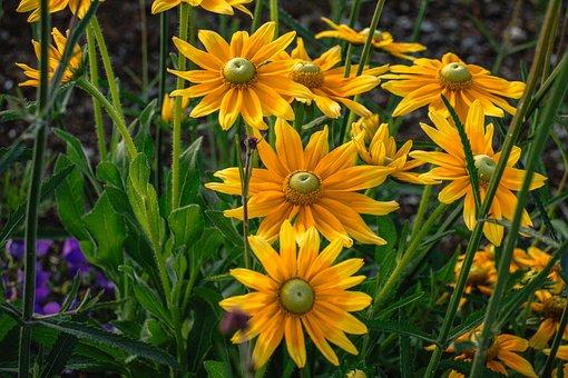 Flowers, Coneflowers, Bloom, Blossom, Rudbeckia, Flora