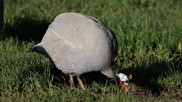 Guinea Fowl, Close-up, Head, Bird, Watching, Feathers