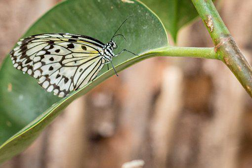 Butterfly, Insect, Plant, Leaf, Large Tree Nymph