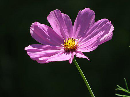 Flower, Cosmos, Cosmea, Petals, Leaves, Foliage, Plant