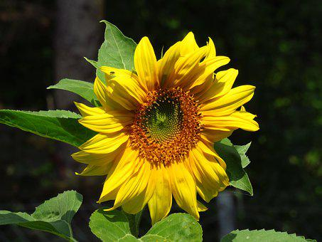 Sunflower, Flower, Petals, Leaves, Foliage, Nature