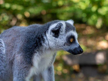 Lemur, Primate, Animal, Wild Animal, Wilderness