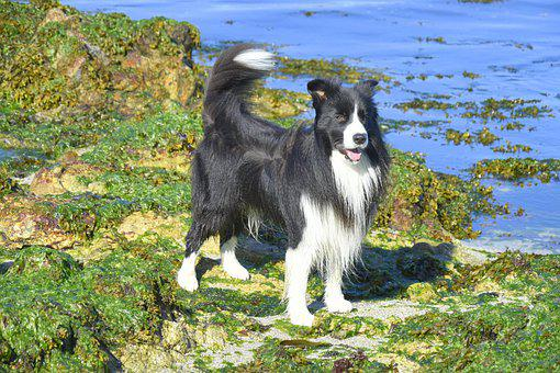 Border Collie, Dog, Moss, Beach, Herding Dog, Pet