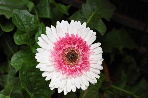 Daisy, Flower, Plant, Petals, Bloom, Blossom