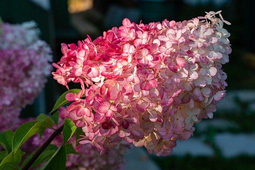 Flowers, Petals, Hydrangea, Colorful