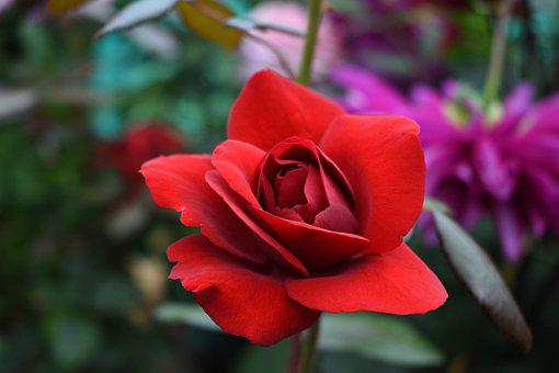Rose, Flower, Plant, Red Rose, Red Flower, Petals