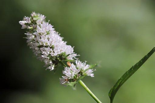 Mint, Minzblüte, Green Mint, Flowers, Plant
