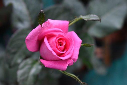 Rose, Flower, Plant, Pink Flower, Pink Rose, Petals