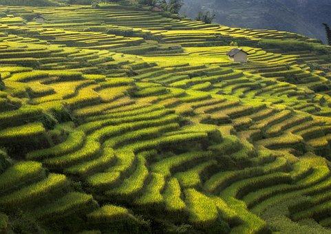Rice Terraces, Paddies, Plantation, Rice Paddies