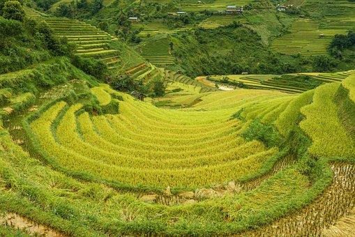 Rice Fields, Paddies, Plantation, Fields, Rice