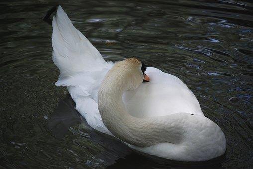 Swan, Plumage, Pond, Feathers, Waterfowl, Beak, River