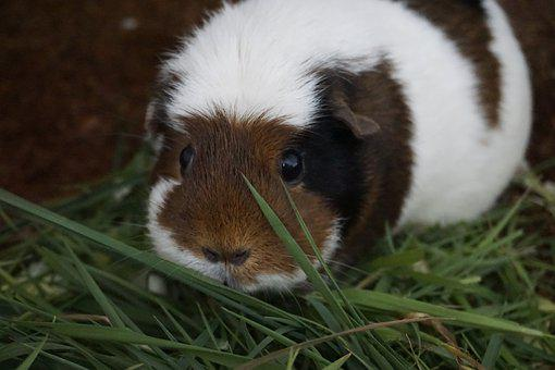 Guinea Pig, Rodent, Cavy, Domestic Cavy, Small, Cute
