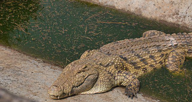 Crocodile, Reptile, Scales, Scaly, Sleeping, Habitat