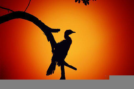 Bird, Silhouette, Sunset, Branch, Outline, Sunrise