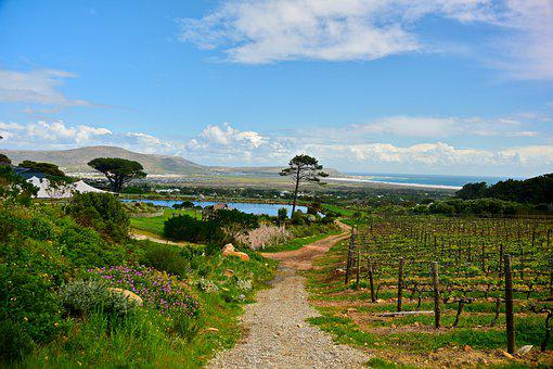 Vines, Vineyard, Winery, Viticulture, Rebstock