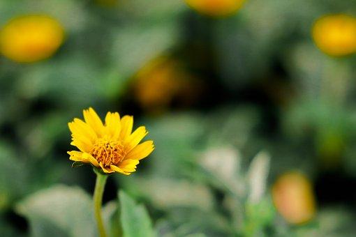 Daisy, Flower, Plant, Yellow Flower