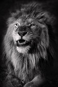Lion, Wild Cat, Feline, Animal Portrait, King, Animal