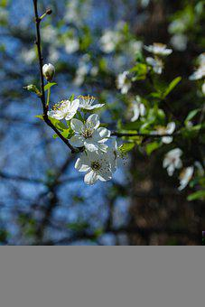 Flowers, White Flowers, Blossom, Spring, Bloom, Leaves