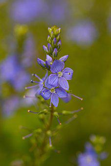 Broadleaf Speedwell, Flowers, Buds