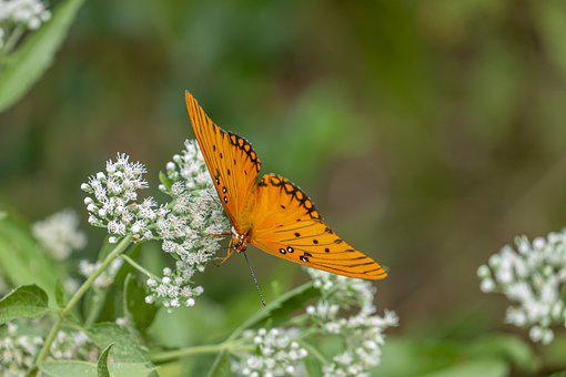 Butterfly, Pollinate, Insect, Orange Butterfly