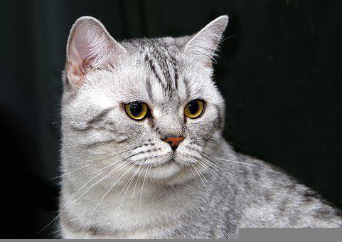 Cat, Whiskers, Pet, Animal, British Shorthair