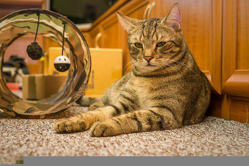 Cat, Animal, Tabby Cat, Whiskers, Pet