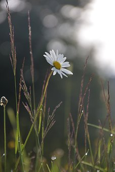 Daisy, Flower, Meadow, White Flower, Marguerite, Bloom