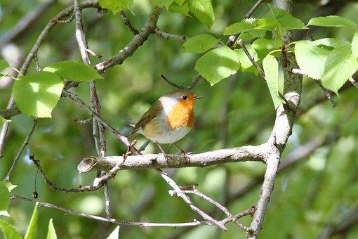Robin, Bird, Branch, European Robin, Robin Redbreast