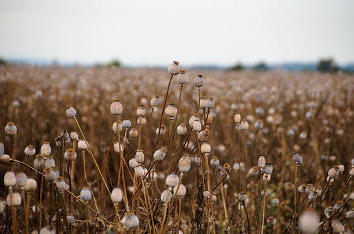 Poppy, Poppyheads, Field, Meadow, Poppyhead Fields