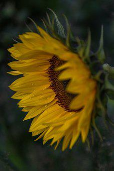Sunflower, Flower, Dew, Morning Dew, Dewdrops, Droplets