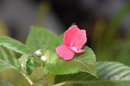 Impatiens, Flower, Plant, Leaves
