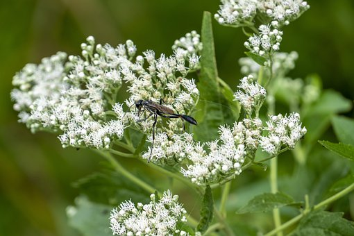 Wasp, Insect, Flowers, Small Flowers, Inflorescence